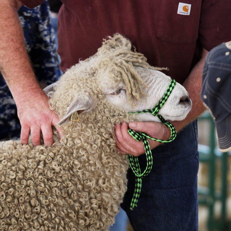 Sheep on leash