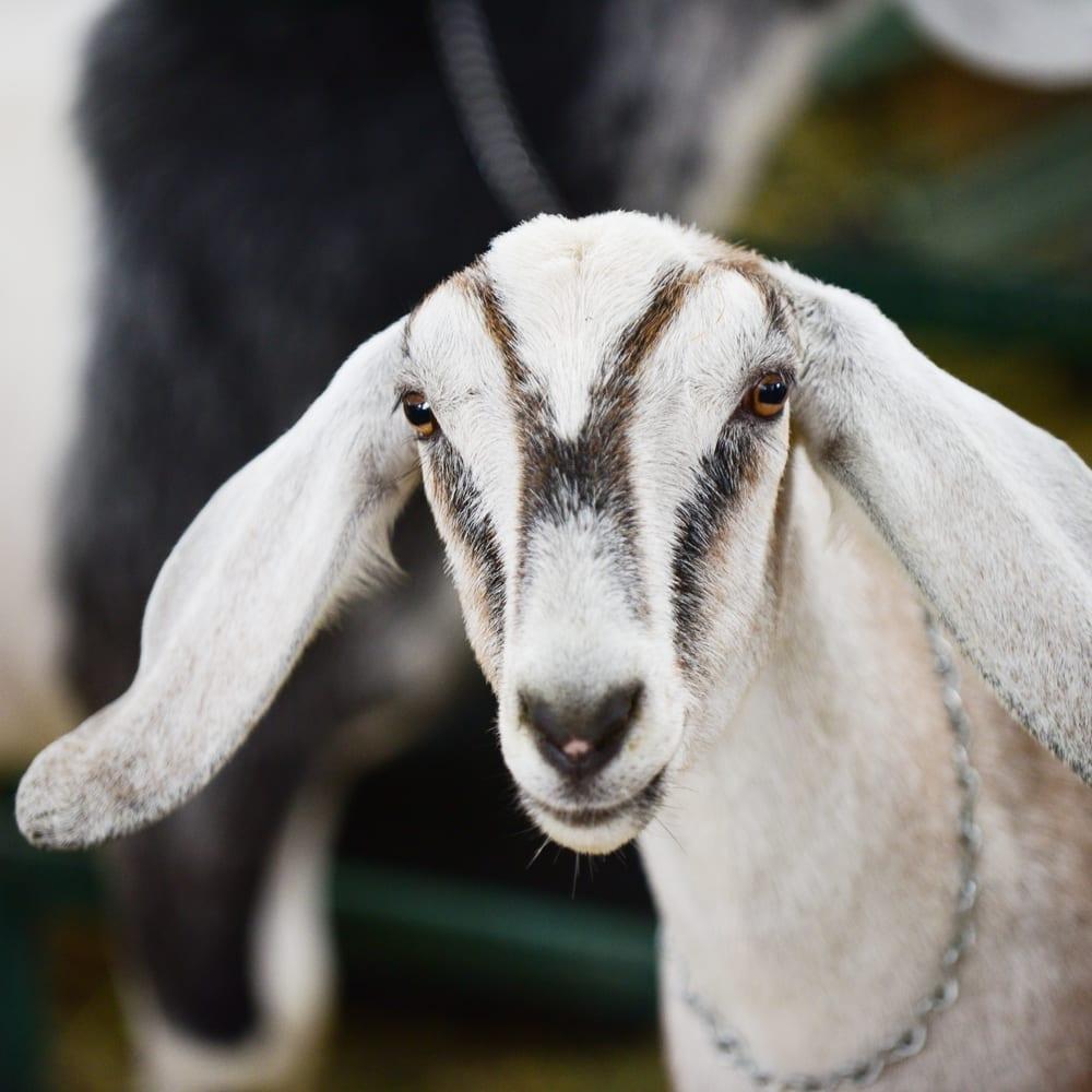 long ear white goat