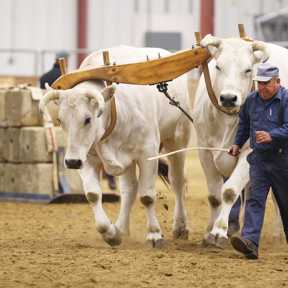 oxen pulling cement