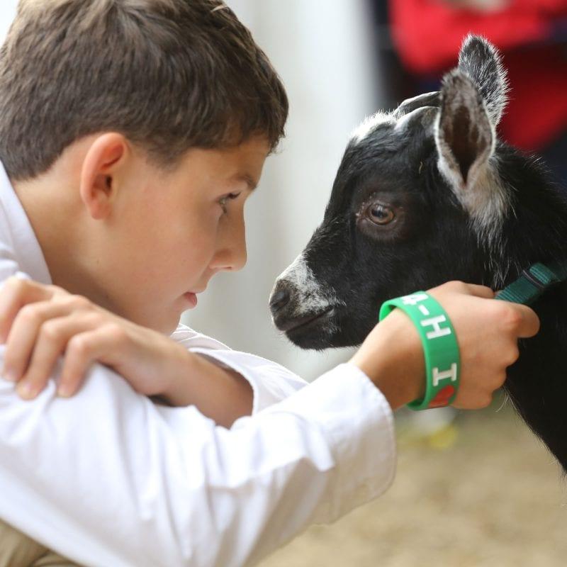 4-H goats at the topsfield fair