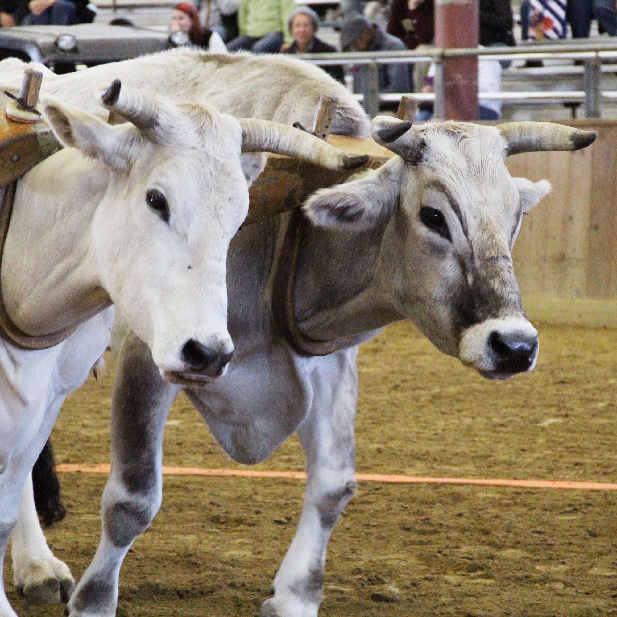 Oxen Pulling at the Topsfield Fair